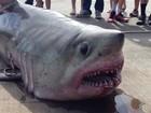 Com filho de 9 anos, americano fisga tubarão-sardo de 219 quilos