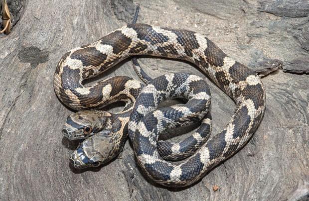 O fotógrafo Jason Talbott conseguiu capturar uma imagem inusitada: uma cobra de duas cabeças, que encontrou no Kansas, Estados Unidos (Foto: Jason Talbott/Caters News)