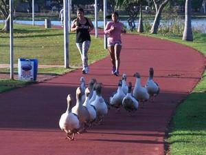 Aves passeavam na pista de caminhada quando foram flagradas. (Foto: Ricardo Ojeda/Arquivo Pessoal)