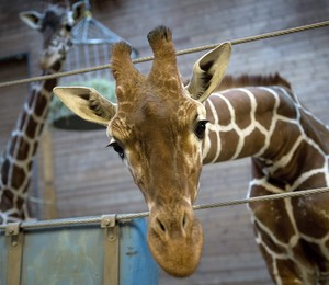 A girafa Marius, do Zoológico de Copenhagen, dias antes de ser sacrificada (Foto: Keld navntoft/EFE)