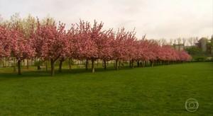 Cerejeiras no Brookklyn (TV Globo)