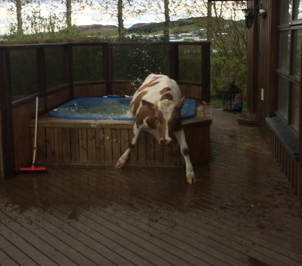 Islandês ficou surpreso ao encontrar uma vaca na banheira de hidromassagem (Foto: Reprodução/Facebook/Guðjón Birgisson)