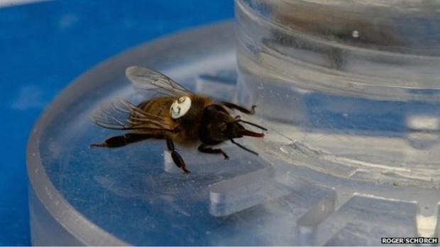 A equipe de pesquisadores usou néctar com cafeína para testar seus efeitos nas abelhas (Foto: Roger Schürch)