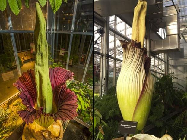 Flor-cadáver do Jardim Botânico de Denver em dois momentos: quando estava aberta, na semana passada, e quase totalmente fechada, no sábado (21) (Foto: Reprodução/ Facebook/ Denver Botanic Gardens)