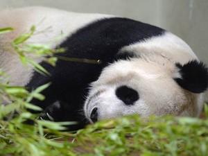 Panda Tian Tian, com sinais de gravidez, dorme no zoológico de Edimburgo.  (Foto: Reuters/Russell Cheyne)