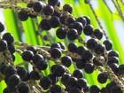 Manejo da floresta garante produção sustentável de açaí no Pará