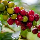 Oferta de café é prejudicada por indefinição