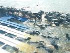 Consumo de boi morto em naufrágio preocupa vigilância sanitária do PA