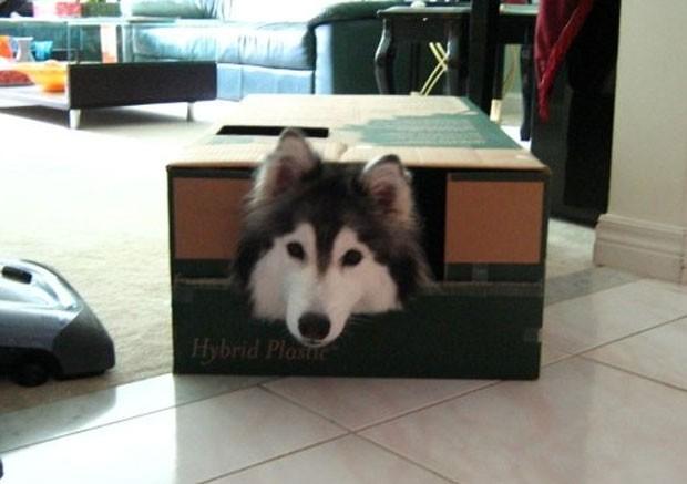 Passatempos do cachorro incluem brincar em caixas e ficar sentado o dia todo, assim como é comum dos felinos (Foto: Reprodução/Imgur/xlinnea)
