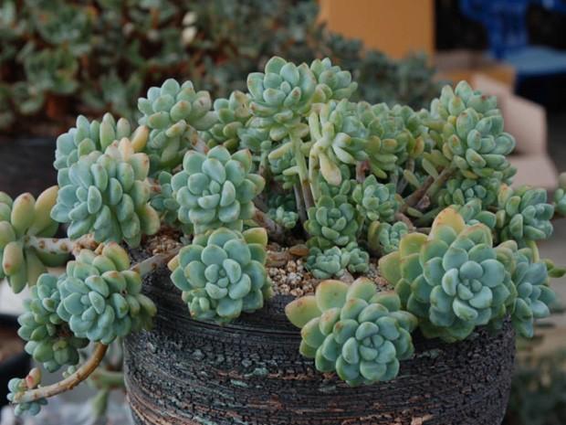 Nome científico: Sedum clavatum (Foto: Pinterest/Reprodução)