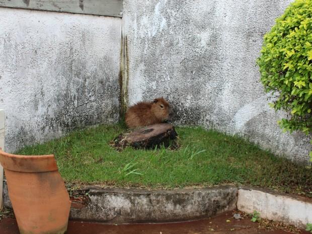 Filhote de capivara entra em quintal de escritório em Campo Grande (Foto: Gabriela Pavão/ G1 MS)