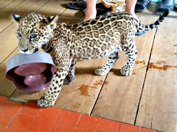 Onça era criada como gatinho pela família no interior do Acre  (Foto: Divulgação/Polícia Militar)