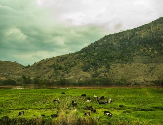 Vacas pastam ao lado do rio Doce sujo de lama de rejeitos de minério (Foto: Camila Pastorelli)