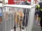 Polícia Ambiental captura lobo-guará em Aparecida, SP