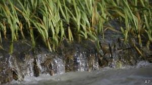 Grama híbrida absorve melhor a água (Foto: AP/BBC)