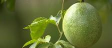 Mercado do maracujá atrai produtores de uva  (Reprodução/ TV TEM)