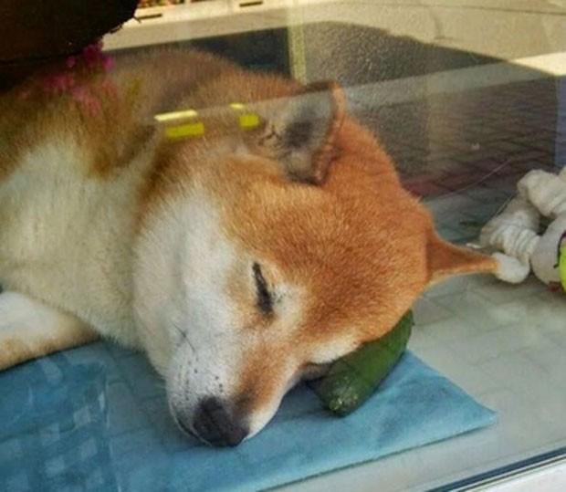 'Shiba' aproveita pausa para tirar soneca durante o expediente (Foto: Reprodução/Twitter/417Ss)
