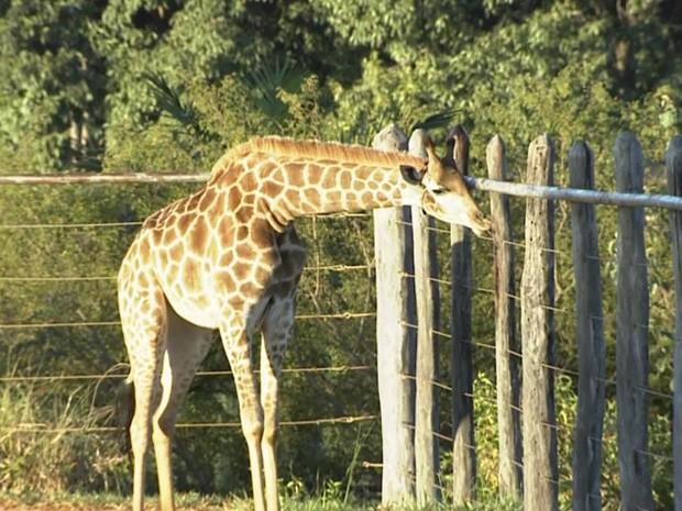 Resultado de imagem para zoologico de brasilia girafa