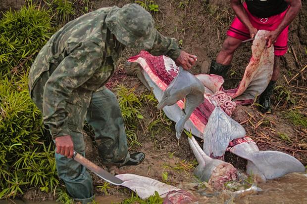 Um boto-vermelho fêmea é cortado em fatias, cujos pedaços servirão para a pesca da piracatinga. Esta fêmea estava grávida e um filhote é encontrado no corpo da mãe.  (Foto: Ampa)