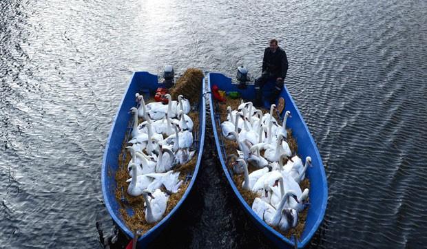 Um bando de cisnes ganhou 'carona' e foi transportado na segunda-feira (20) em barcos no rio Alster, em Hamburgo, na Alemanha. As aves foram levadas para um abrigo de inverno. (Foto: David Hecker/AP)
