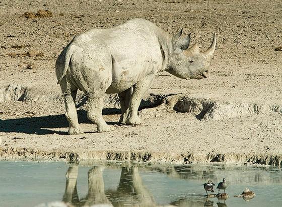 Um rinoceronte-negro no Parque Nacional Etosha (Foto: © Haroldo Castro/Época)