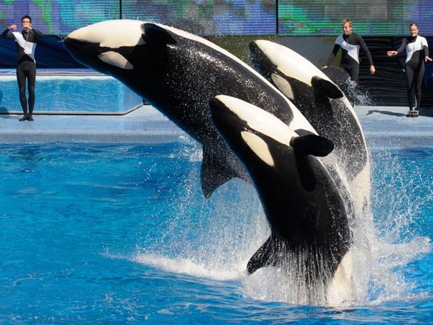 Orcas durante espetáculo no SeaWorld Orlando (Foto: Phelan M. Ebenhack/AP)