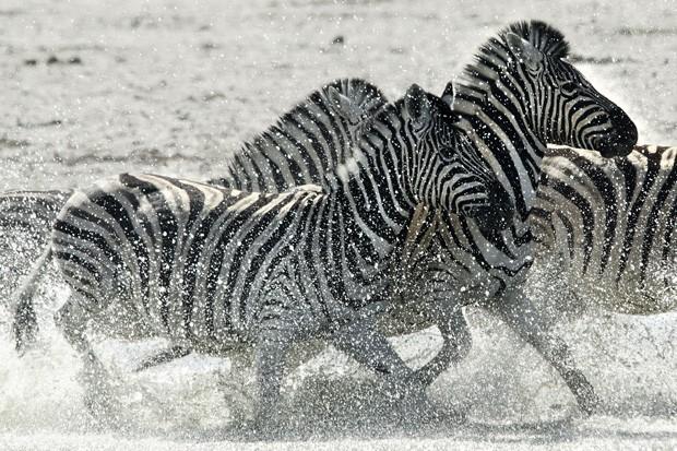 As zebras são um dos animais mais fotografados durante os safáris africanos (Foto: © Haroldo Castro/Época  )