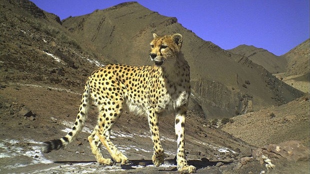 Foto vencedora na categoria pesquisa e espécies raras: gueparto asiático, no Refúgio para Vida Selvagem de Naybandan no Irã (Foto: Iranian Cheetah Society/Iranian Department of Enviroment/Conservation of Asiatic Cheetah Project/Panthera/BBC Wildlife Magazine)