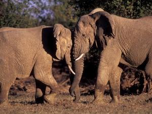 Elefantes do Mali percorrem grandes distâncias; três deles foram mortos por caçadores neste ano (Foto: Divugação/Carlton Ward Jr./Wild Foundation)