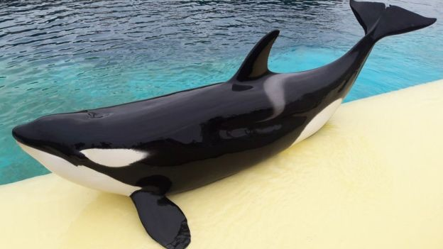 Wikie, a primeira orca a repetir palavras. (Foto: Marineland)