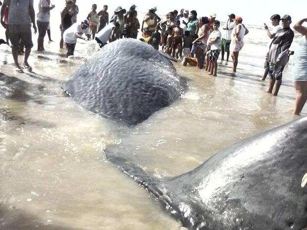 Baleia morreu após encalhar na praia do Crispim (Foto: Iris Santos / Rádio Tropical de Marudá)