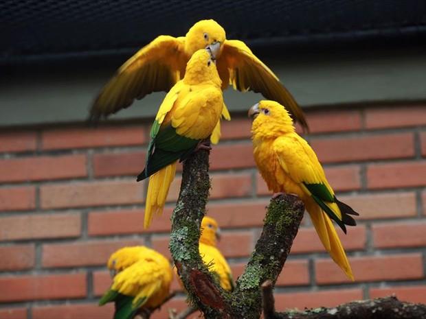 Ararajubas viviam no Zoológico de Curitiba (Foto: Maurilio Cheli/SMCS/Divulgação)
