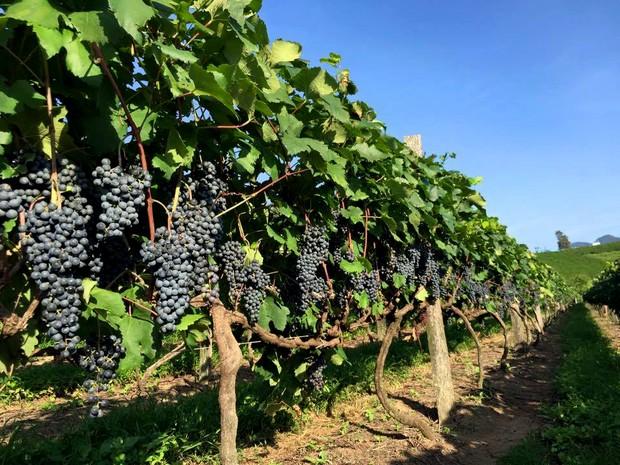 Privilegiada pela localização, Andradas (MG) tornou-se referência na vitivinicultura, atividade que envolve o cultivo das vinhas e a fabricação do vinho e do suco da uva. (Foto: Reprodução/ Vinícola Casa Geraldo)