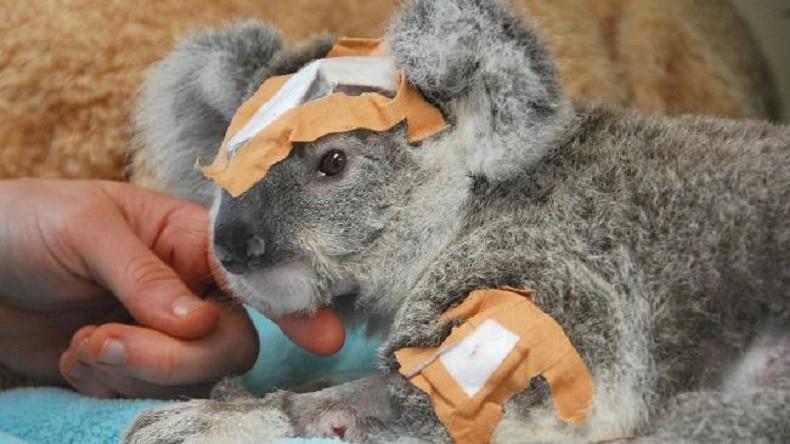 Coala ferido é cena cada vez mais comum na Austrália (Foto: Divulgação)