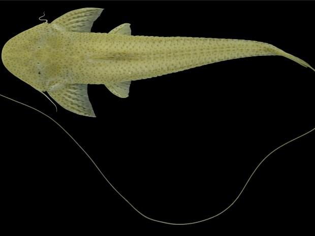 Espécie rara na Bacia Amazônica, encontrada apenas em regiões profundas do rio. Nome cientifico Planiloricaria cryptodon com tamanho aproximado de 25.3 cm (Foto: Unir/Divulgação)
