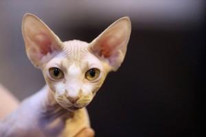Sphynx, o gato sem pelos