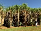 Nova técnica pretende melhorar produtividade da cana-de-açúcar