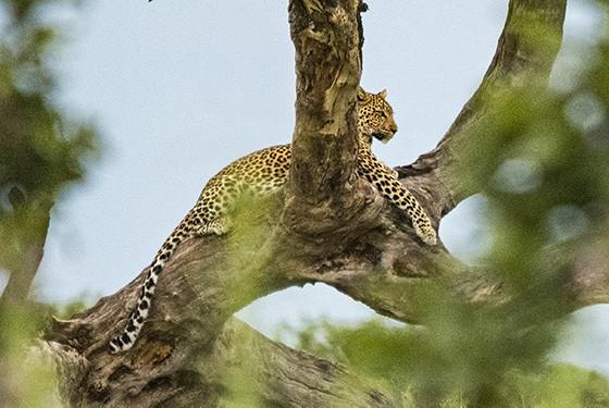 Como um senhor da savana, o leopardo repousa sobre o galho seco de uma árvore  (Foto: © Haroldo Castro/ÉPOCA)