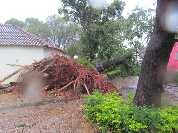 Árvores desabaram com a força do vento (Foto: Ronaldo Simões)