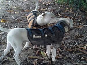 Cães da raça Dogo argentino são utilizados na caça aos javalis (Foto: G1/G1)