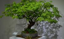 Jardim Botânica tem mostra de bonsai (Amanda Pioli/G1)