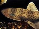Nova espécie de tubarão está em exposição no Oceanário de Aracaju
