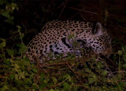O programa mostrará como capturar uma onça pintada com armadilha (Foto: Divulgação TV Grande Rio)