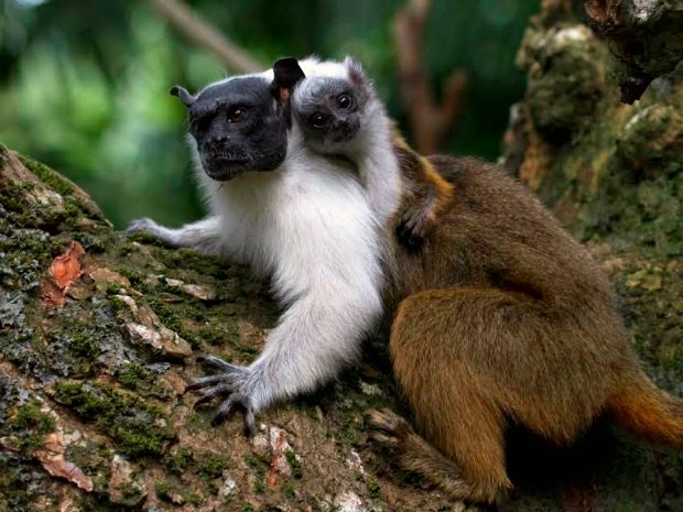 Sauim-de-coleira é encontrado apenas em três municípios do Amazonas (Foto: Diogo Lagroteria/Ibama)