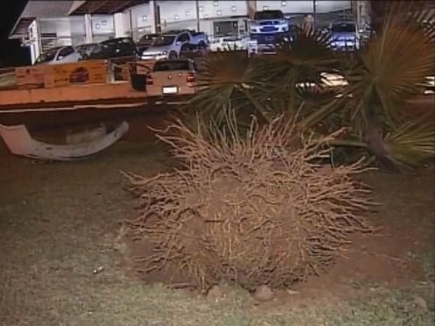 Coqueiro foi arrancado aós colisão (Foto: Reprodução / TV TEM)