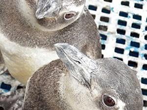 Pinguim do ES encontrado no Uruguai foi solto com um grupo de outras 68 aves (Foto: Luis Felipe Mayorga/ Ipram)