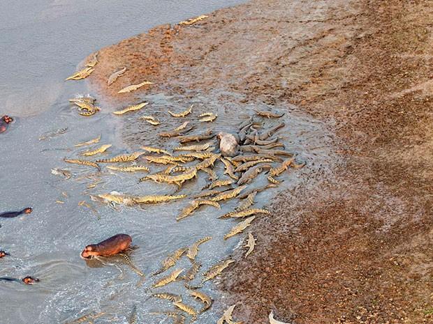 No detalhe, é possível observar grupo de répteis atacando carcaça de hipopótamo na margem do rio (Fot Marc Mol/Mercury Press)