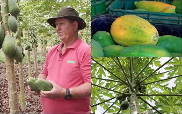 Programa destaca a produção de mamão, no Amazonas (Foto: Amazônia Rural)