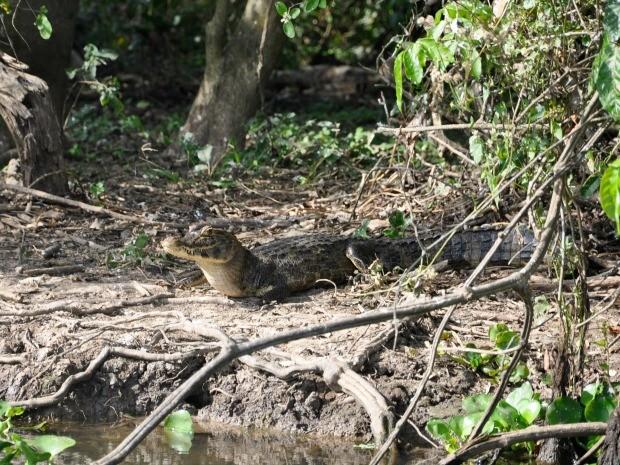 Jacarés são algumas das atrações no turismo ecológico no Pantanal (Foto: Carolina Holland/G1)