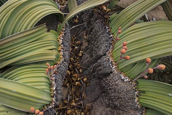 O caule de madeira se divide em dois e de cada lado nasce uma longa folha (Foto: © Haroldo Castro/ÉPOCA)